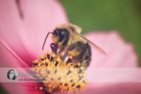 AlainaFrederick Photography Bumblebee